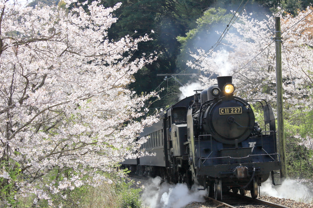 大井川鐵道の撮影地を訪問する 【9キロポストの桜群】