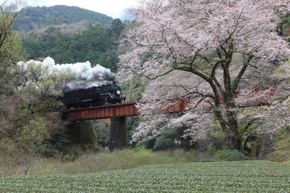 大井川鐵道のオススメ撮影地 【春の笹間川橋梁】