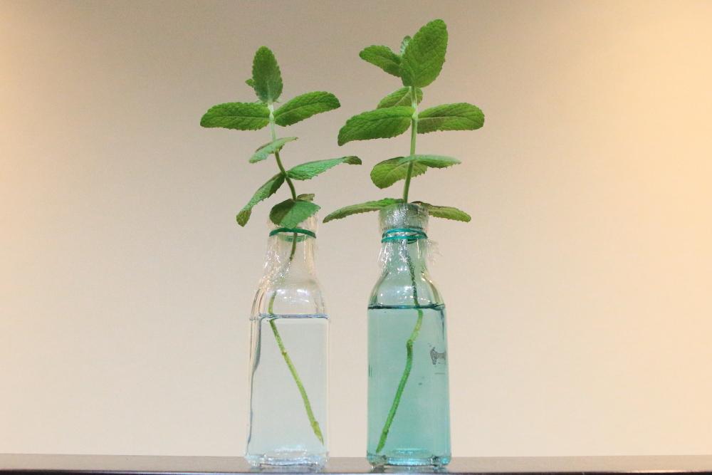 水耕栽培が楽しい!素人にもできるアップルミントの増やし方!